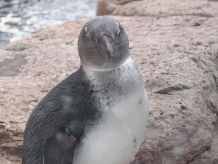 ペンギン(カメラ目線)