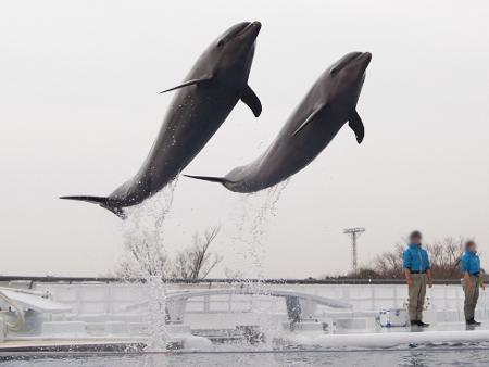 イルカのシンクロジャンプ!