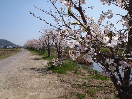 農道の桜並木