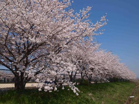 桜の木で囲まれた公園
