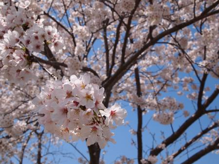 晴天なのもあって桜が眩しい!