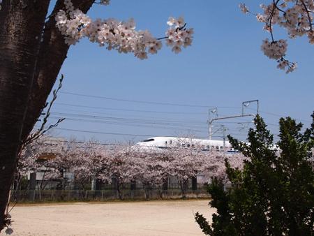 桜の上を走る新幹線!